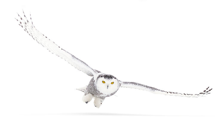 Snowy owl (Bubo scandiacus) isolated on a white background flies